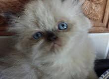 قطط همالايا
