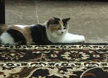 قطه مفقووده