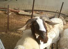 خروف تهري هجين