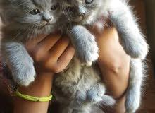 قطة صغيرة للبيع ذكر أو أنثى