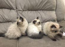 قطط هملايا بيور للبيع للستفسار على وتساب فقط 32023410