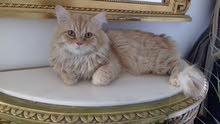 turkish - feline male cat