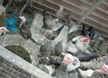 25فرخ دجاج مشكل ديوك واناثي