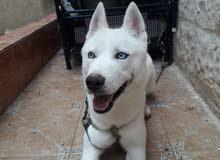 كلب هاسكي ماشاء الله الي مابفهم بدون تبخيس المواصفات واضحه في صورة
