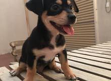 كلب شيواوا عمر شهرين