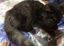 قطه شيرازيه نضيفه جدا
