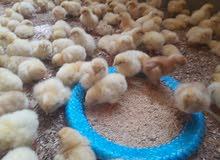 افراخ دجاج البيض البياض  تفاصيل جوه