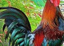 بيض دجاج بلدي عالي التخصيب للفقاسات الصغيرة والكبيرة