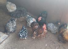 اربع دجاجات واربع فرريج أسترالي فيهم كوبتان لحية اوداج