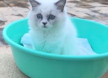 قطة شيرازية بيور أنثى