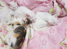 chaton angora turc