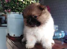كلب نوع بوو ذكر عمره شهرين