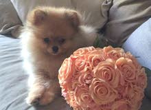 4 months old pomeranian puppy for sale 6000
