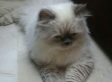 قطتين. هيمالايا ذكر وشيرازي انثى