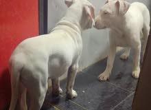 كلاب بيتبول للبيع امريكان ستفورد شير