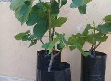 مشتلة كرموس انواع نادرة و عمر الشجرة 3 سنواة