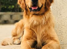For mating onlygolden retriever