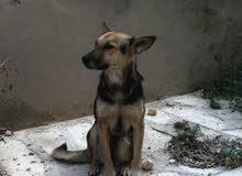 كلب جيرمان على روت وايلر للبيع