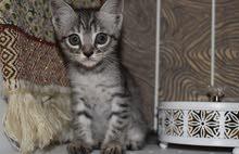 قطط مكس دلموني شيرازي للبيع