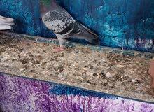 zajil pigeon. 5.5