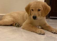 كلبه جولدن بيور 3 شهور