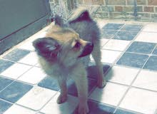 كلب نوع سوبر مني بو لعدم  التفرغ