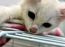 للبيع قطط لون عيون ازرق و عيون عسلي