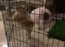female Pomeranian for sale 6 month ready to be pregnant