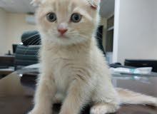 pure Scottish Kitten