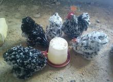 بيض دجاج استرالي درجه اولى الله يبارك