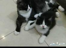 قطط للبيع (بالجبيل البلد)