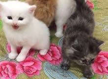 قطط شيرازية للبيع عمرهم شهرين