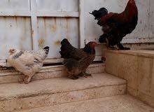 دجاج للبيع جاجتين وديك عمان