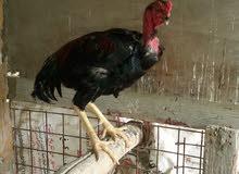 دجاج هراتي تركي  وبلايمود  للبيع