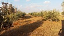 مزرعة نص هكتار في الطلحية شارع الغاز
