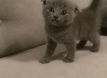 Scottish Fold Blue Kitten - Female (Pure)
