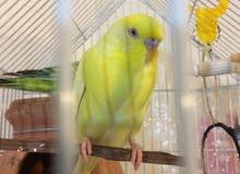 طيور بادجي للبيع مع قفص كبير/ budgie with a big cage for sale