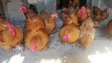 دجاج هولندي العملاق