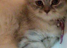 قطة أصولها شيرازية تركية انثى للبيع