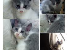 قطة شيرازي اميركي