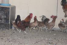 دجاج عماني بياض