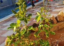 مزرعة زهرة الزيتونة ..منطقة الزيتونة  بعد الهاشمية