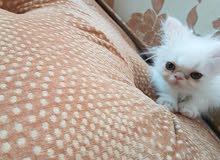 قطه انثي شيرازي بكي فيس بيور عمر شهرين