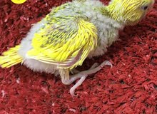 فروخ بادجي lovebird Chicks
