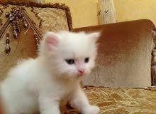 """قطة اسمها """"Sila"""" نوع صيامو من يهمه الامر يتصل بي"""