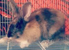 للبيع ارانب هولندي