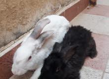 للبيع ارنب الجوز