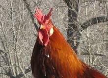 دجاج بلدى.صوص.بيض بلدى للبيع