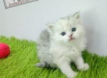 (قطط شيرازي بيوور)