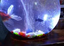حوض سمك مع 3سمكات مع لايت غطاص مع ماطور  للبيع السعر 40الف مكان البي